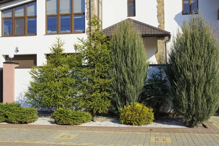 green coniferous ornamental trees and bushes Stock Photo