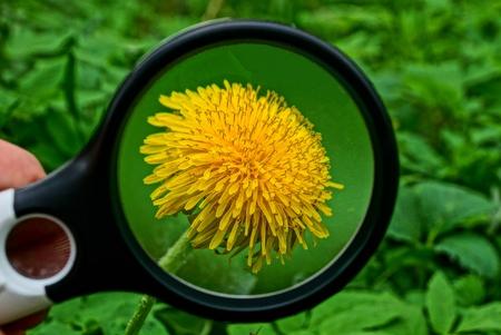 a magnifier magnifies a yellow dandelion flower Banco de Imagens