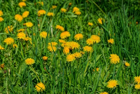 a lot of yellow dandelions among the green grass in the field
