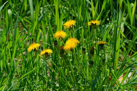 yellow dandelions among green grass in a field Banco de Imagens