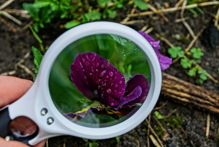 white magnifier enlarges pansy flower in water drops Banco de Imagens