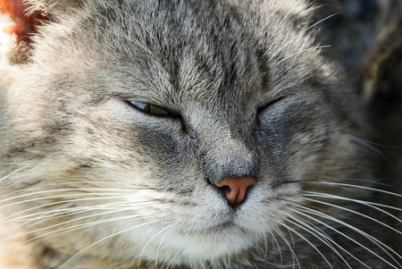 head of a big gray cat that sleeps and blinks
