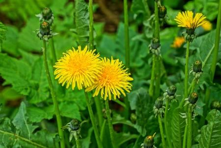 yellow wild dandelion flowers