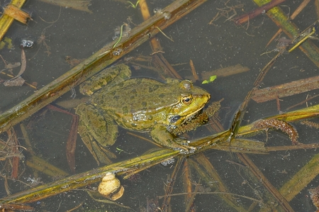 one big green frog sits in the water of a brown algae