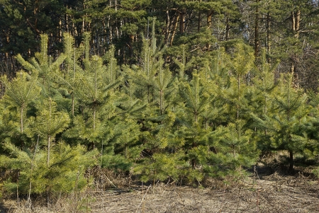 a row of small green coniferous pines in the forest