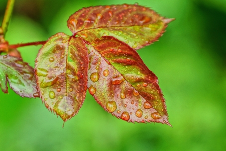 red green leaves on a rosebush with water drops Imagens