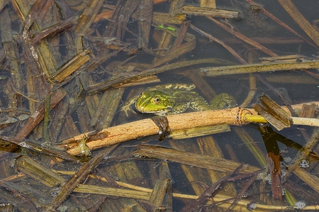 green frog sits in the water of a brown algae