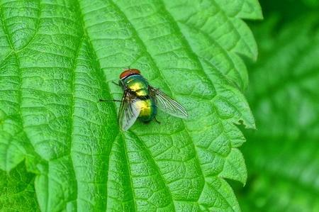 una piccola mosca siede nel verde
