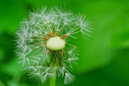 one white old dandelion on the green garden
