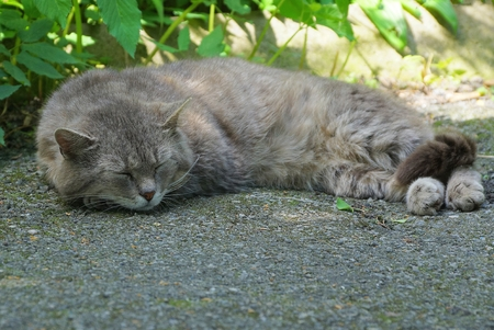 big gray cat lies and sleeps on the pavement