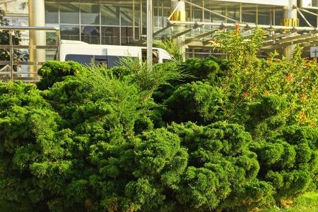 green coniferous ornamental bushes
