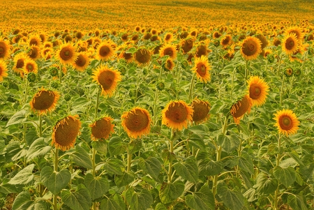 a lot of blooming yellow sunflowers among the green leaves in the field