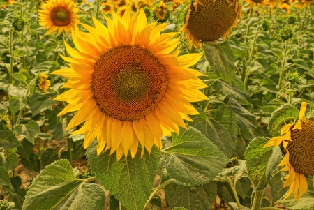 one big yellow sunflower in green leaves in a field