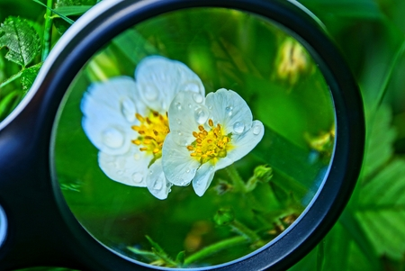 magnifier increases white strawberry flowers with water drops Standard-Bild - 124986670