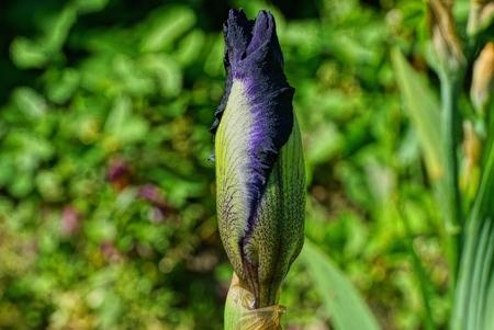 iris flower in green 版權商用圖片