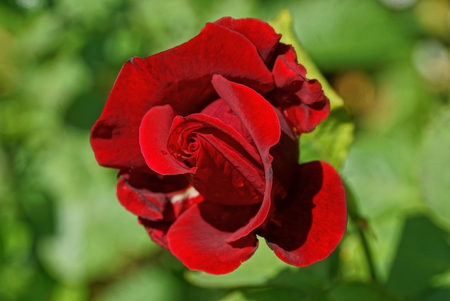 red rose flower on green leaves Archivio Fotografico - 124985895