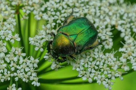 big green beetle sits on a white wild flower in nature