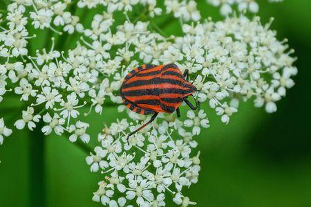 one big striped beetle sits on a white wild flower on nature 版權商用圖片