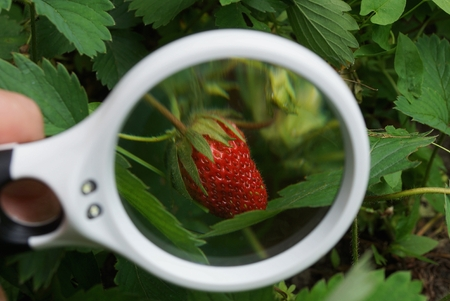 white magnifier increases red strawberry in green leaves in the garden 写真素材