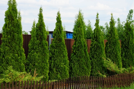 a row of green coniferous ornamental trees near a brown fence