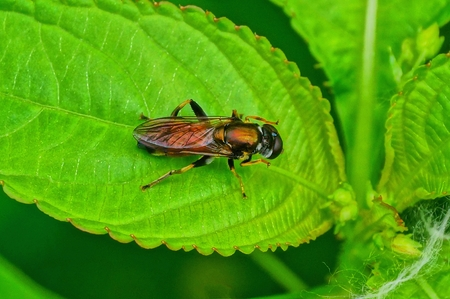one brown fly sits on a green leaf of a plant