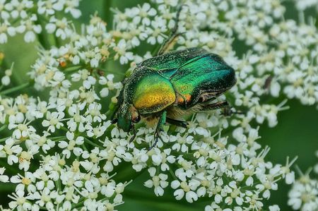 one big green beetle sits on a white wild flower in nature