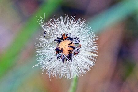 one white old dandelion on a green stalk in the park Imagens