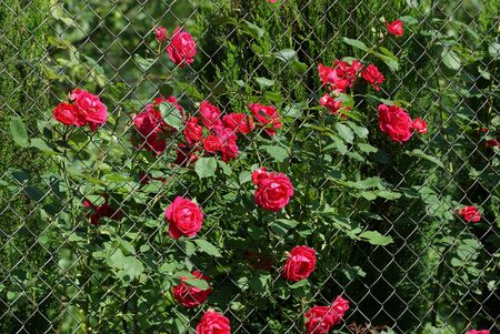 green mesh fence overgrown with red roses