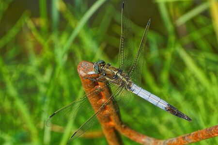 a big blue dragonfly sits on a green grass Banco de Imagens