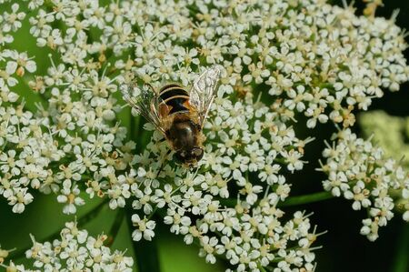 one brown striped bee sits on a white flower