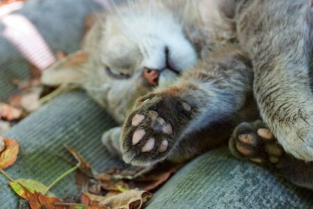 gray cat with paw lying and sleeping outside