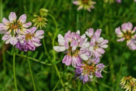 small wild colored clover in nature Banco de Imagens