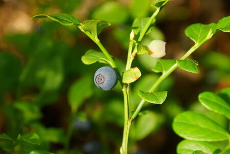 one blue bilberry on a green stalk of bush with leaves Stock Photo