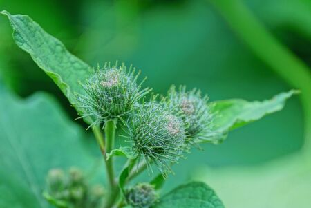 burdock green buds on leaves