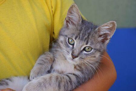 little gray kitten lies on a girls hand Banco de Imagens