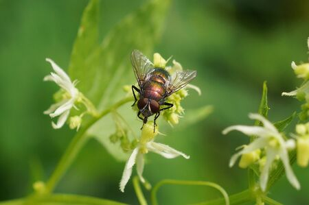 one green fly sits on a white flower in nature Stockfoto