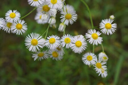 many small white wild flowers of daisies on stems in nature