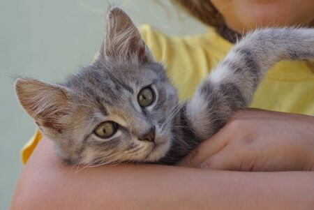 one little gray kitten lies on a girls hand in yellow clothes Stockfoto