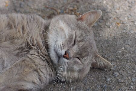 one big gray cat lies and sleeps on asphalt Stock Photo