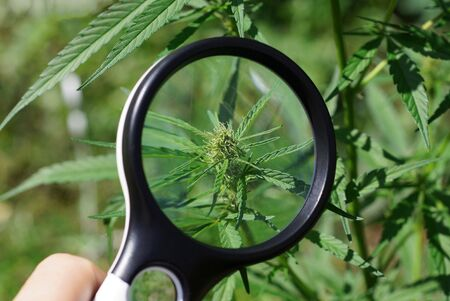 la lente d'ingrandimento nera in mano aumenta la foglia verde su un cespuglio di marijuana