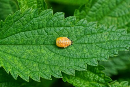 one small yellow beetle sits on a green leaf of nettle
