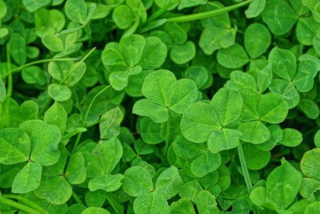plant green background of small wild clover