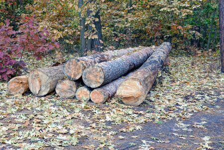 pile of pine logs in the forest cuttings