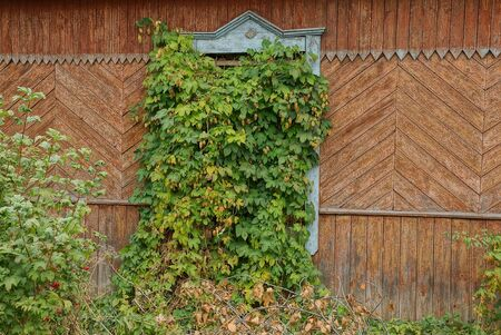 one old window on a brown wooden wall overgrown with green vegetation and hops Stock Photo