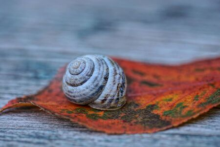 one snail sits on a dry red fallen leaf on a gray wooden board
