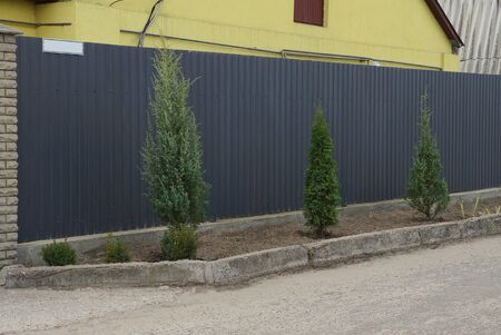 row of green decorative conifers on a street