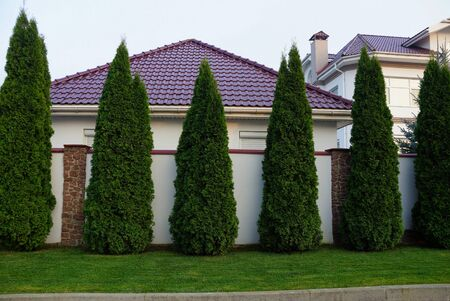 row of green decorative conifers on a street near a gray fence
