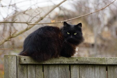 one big black fluffy cat sits on a gray wooden fence in the street