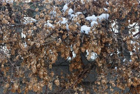 natural plant texture of dry brown hops plants under white snow on the wall