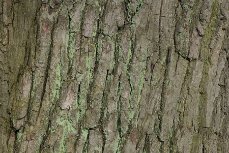 Gray green background from the dried bark of a large old oak tree Banque d'images - 142152129